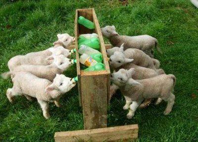 Botellas Convertidas En Biberones Para Animales Reciclaje Reutilización Ovejas Bebé Cabras Lecheras Animales Bebés