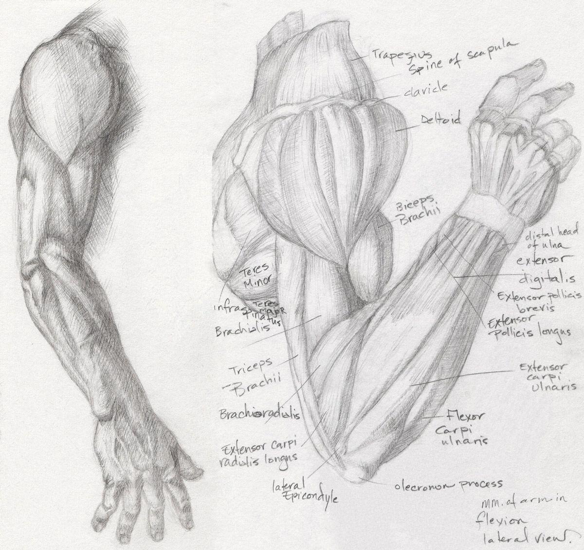 сайте картинки мышцы человека руками они предупреждают своём