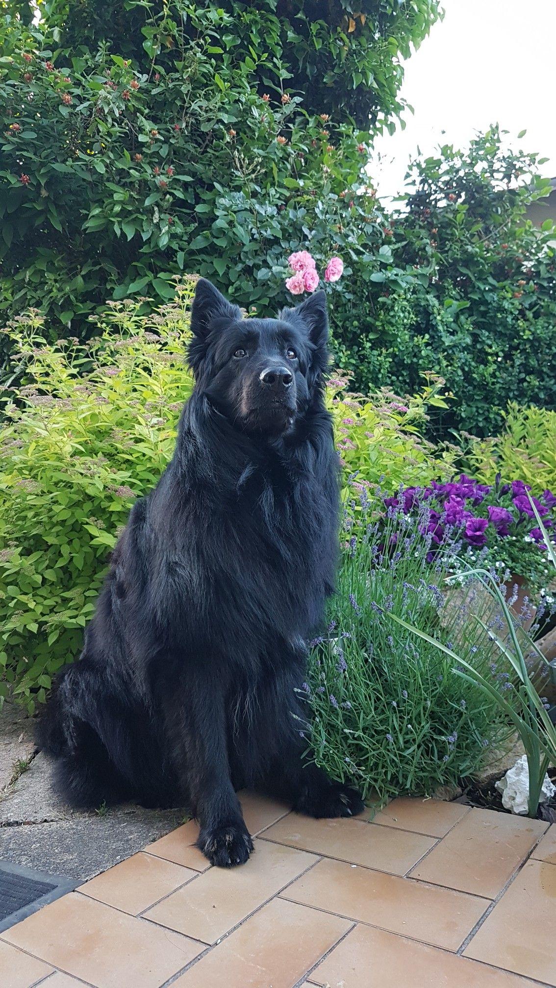 Gsdneo black dog dogs black german shepard