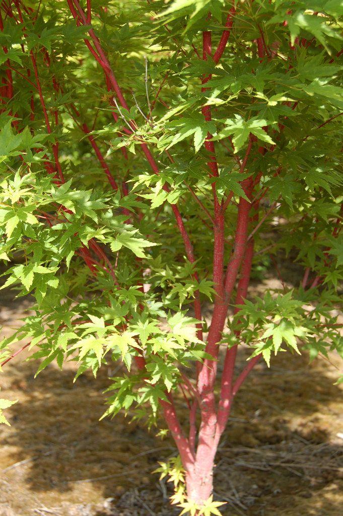 C Bark Anese Maple Acer Palmatum Sango Kaku By Green Acres Nursery And Supply Roseville Sac