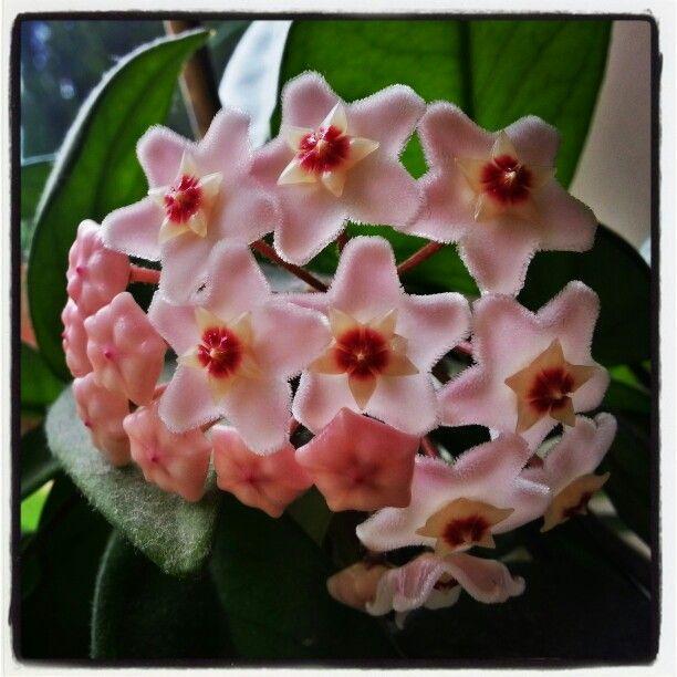 My large Hoya in bloom