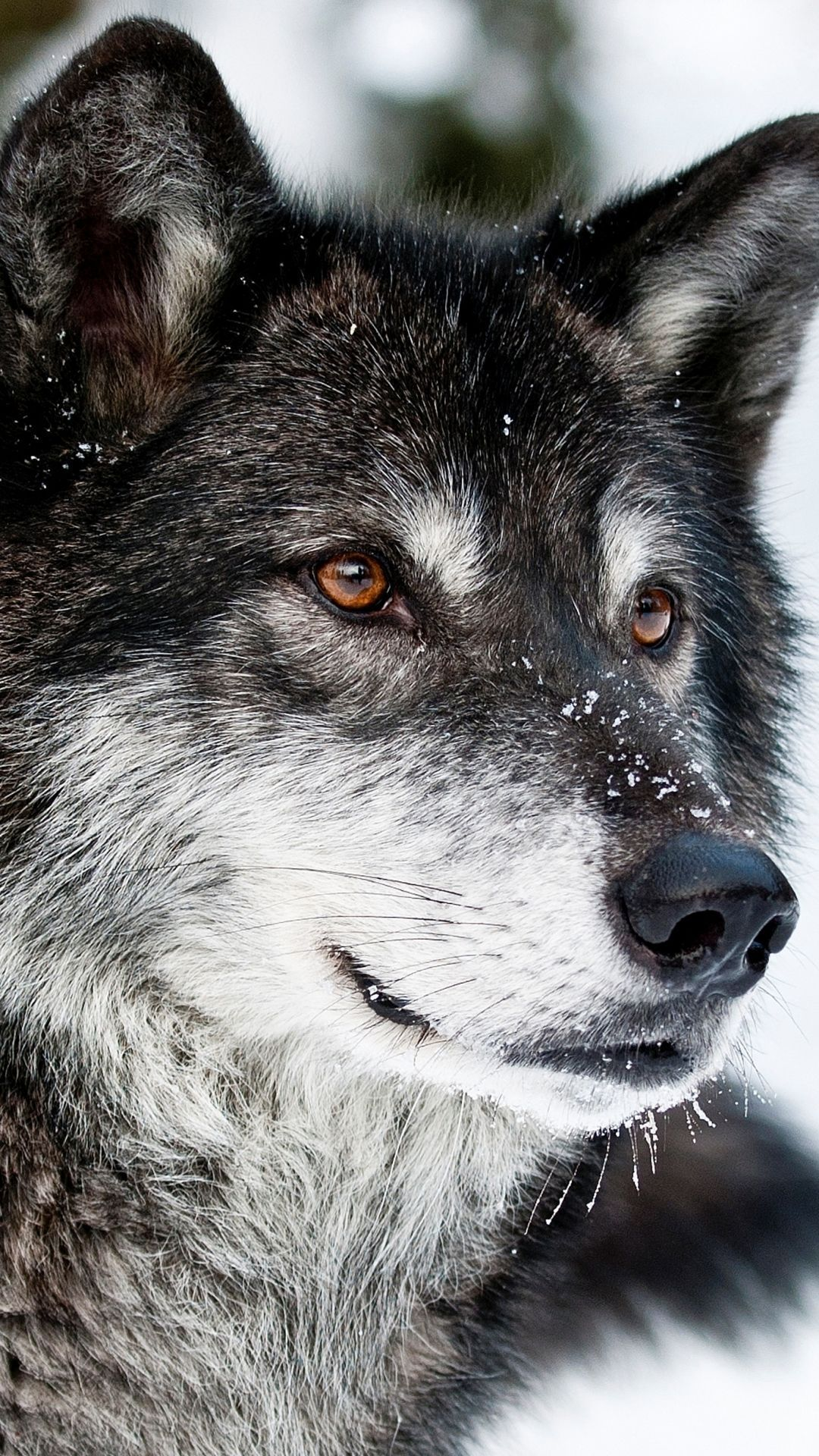 Animal / wolf (1080x1920) wallpapers animal / wolf (1080