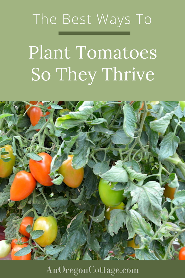 How To Plant Tomatoes That Thrive All Season An Oregon Cottage In 2020 Healthy Garden Tomato Plants Plants
