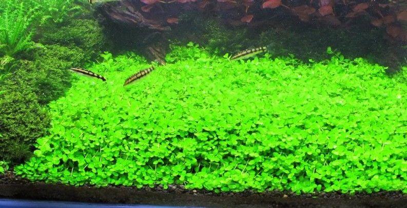 Dwarf Baby Tears On 5 X 3 Mat Foreground Carpet Aquarium Plant Aquarium Landscape Planted Aquarium Freshwater Aquarium Plants