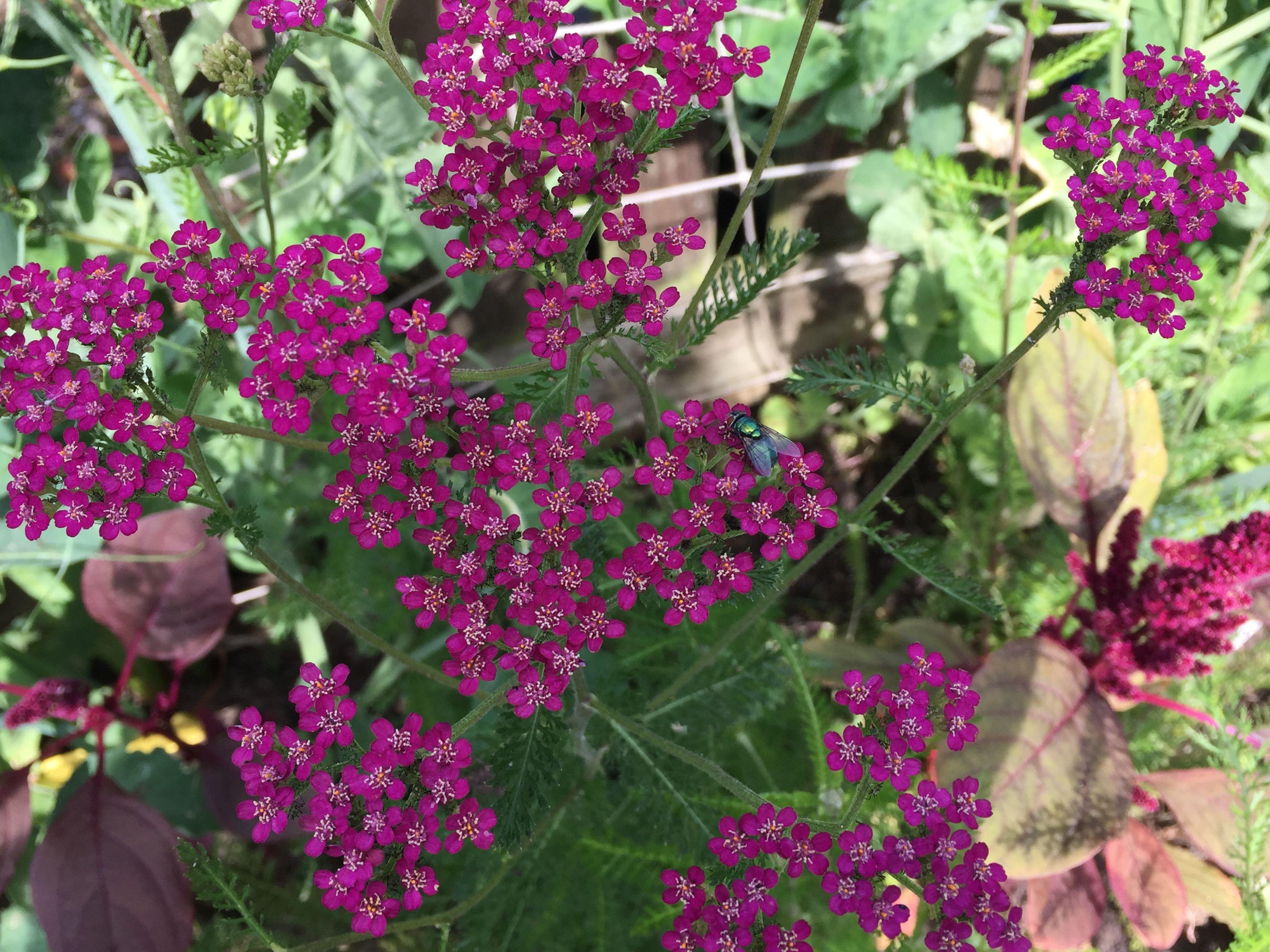 Achillea Cassis Cottage Garden Plants Garden