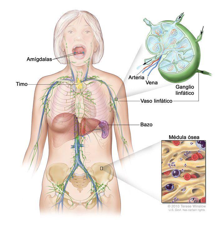 Dibujo del sistema linfático que muestra los vasos y órganos ...
