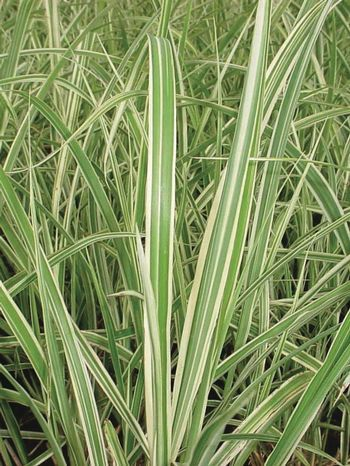 Miscanthus sinensis dwarf variegated grass garden for Variegated ornamental grass