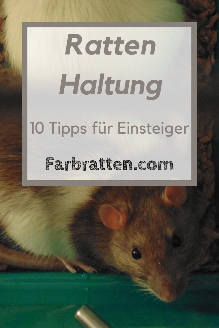 10 Tipps Zur Haltung Von Ratten Fur Einsteiger In 2020 Ratten Ratten Haltung Farbratten