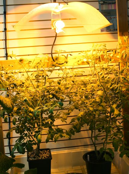 Indoor Tomatoes Under Hid High Pressure Sodium Lights