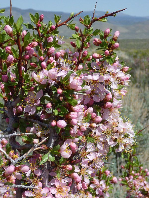 blooming desert peach in jack s valley habitat south of carson city