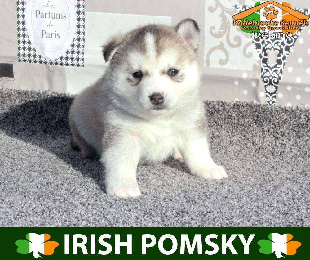 Katiebrooke Kennels Pomsky Specialists Ireland 1500 Uk 2000 Europe 2000 Usa F1 Pomsky Puppy Theresa Brown Pomsky Puppies Pomsky Pomsky Puppies For Sale
