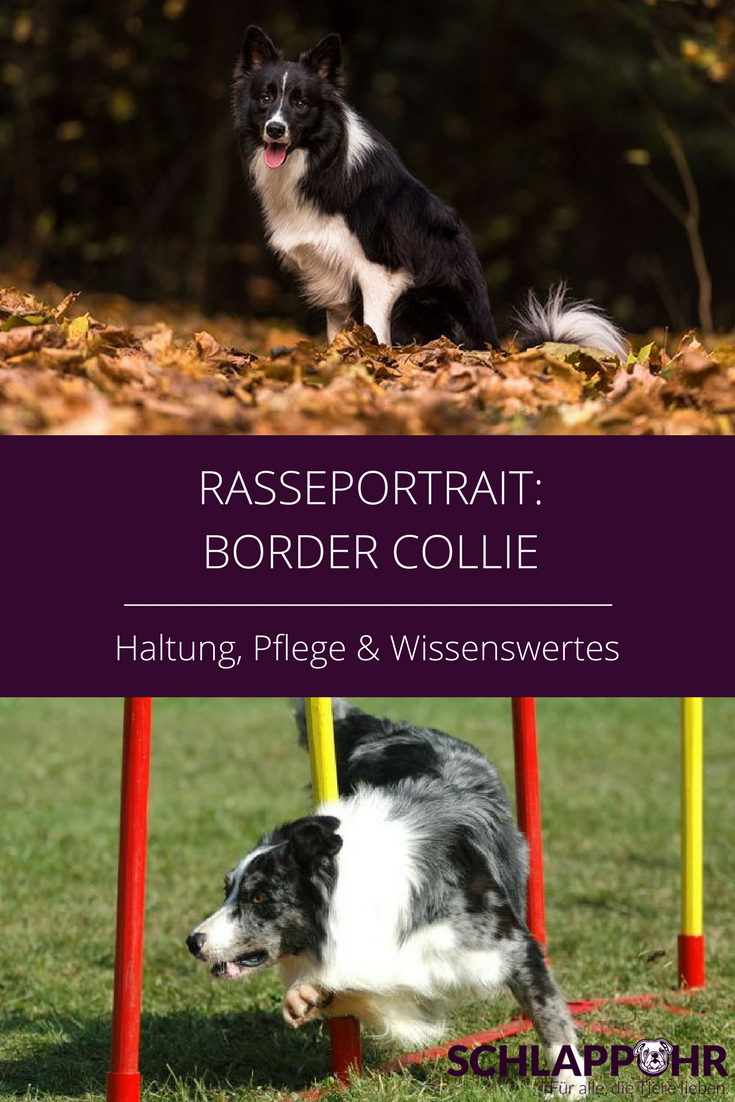 Border Collies Sind Liebenswurdige Und Sehr Kluge Hunde Von Ihren Besitzern Verlangen Sie Ein Hohes Mass An Aufmerksamkeit Und Guter Border Collie Collie Hunde
