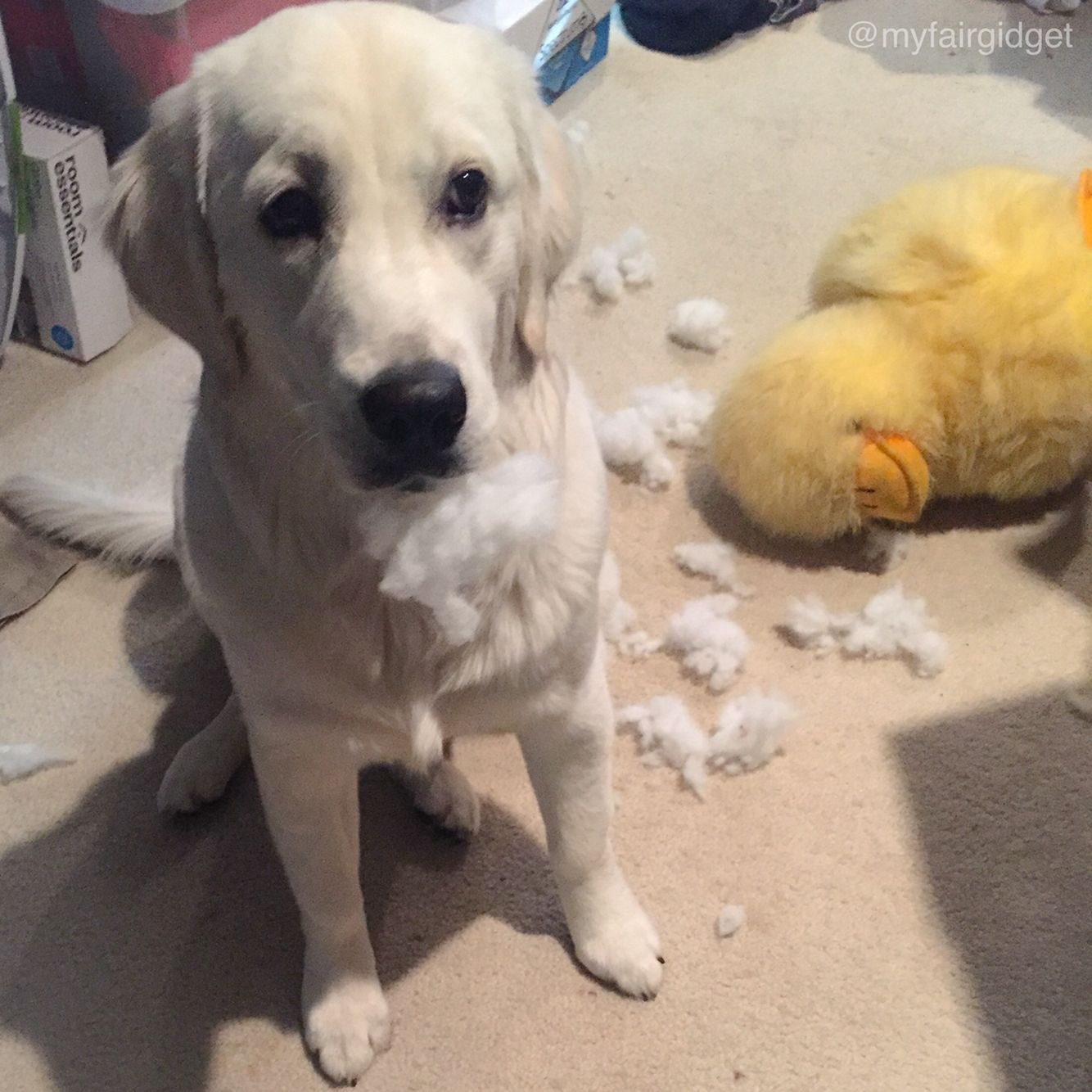 There S Bernard Terrible Accident Gidget Lokelani The Little Puppy With Big Ideas An English Cream Golden Retriever Loving Living In Beautiful Northern