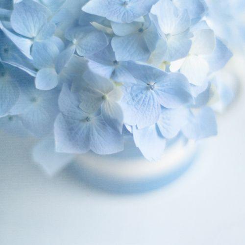 Lovely Blue Hydrangeas Blue Aesthetic Baby Blue Aesthetic Blue Aesthetic Pastel