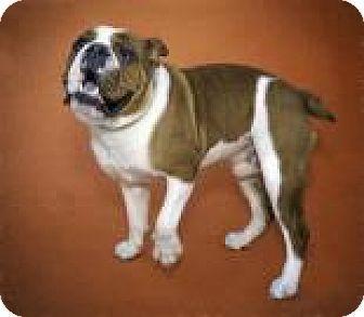 Brooklyn Ny English Bulldog Mix Meet Max A Puppy For Adoption