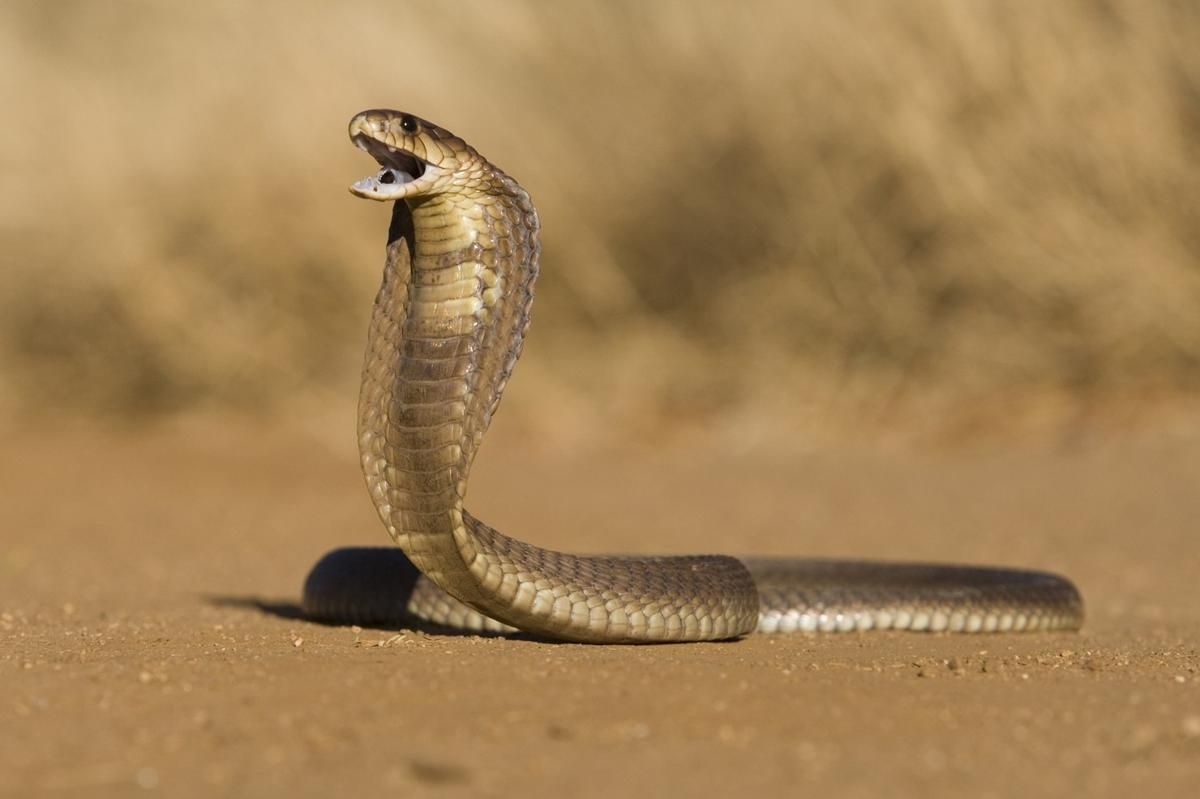 Things You Never Knew About Cobras The Snakes With Hoods Med
