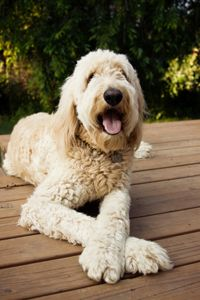 Golden Retriever Standard Poodle Or Groodle I Used To Have A