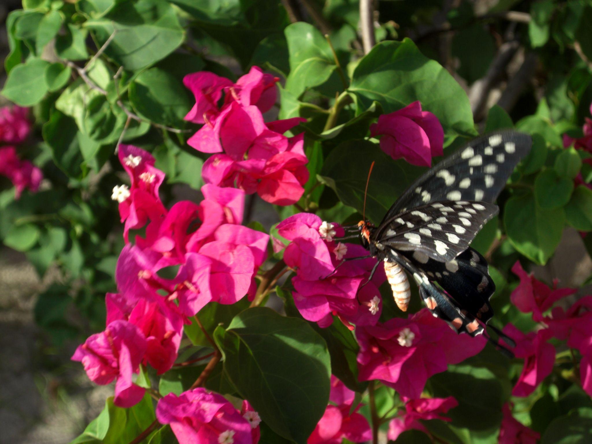 bougainvillier rose | notre jardin d'eden | pinterest