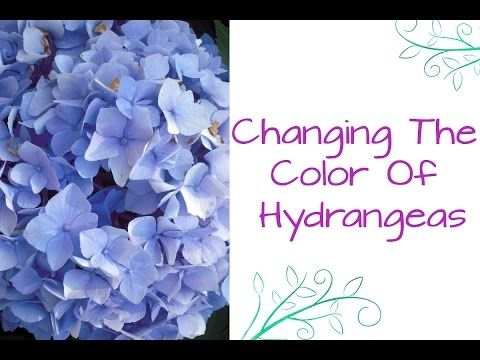 Ask Nell: Changing The Color Of Hydrangeas. #garden #gardening