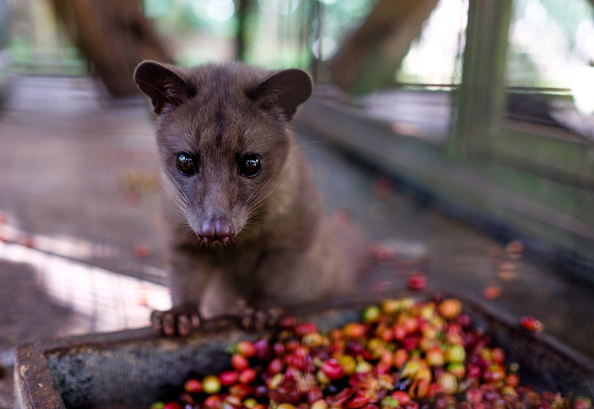 Asian palm civet, known to eat and defecate coffee beans