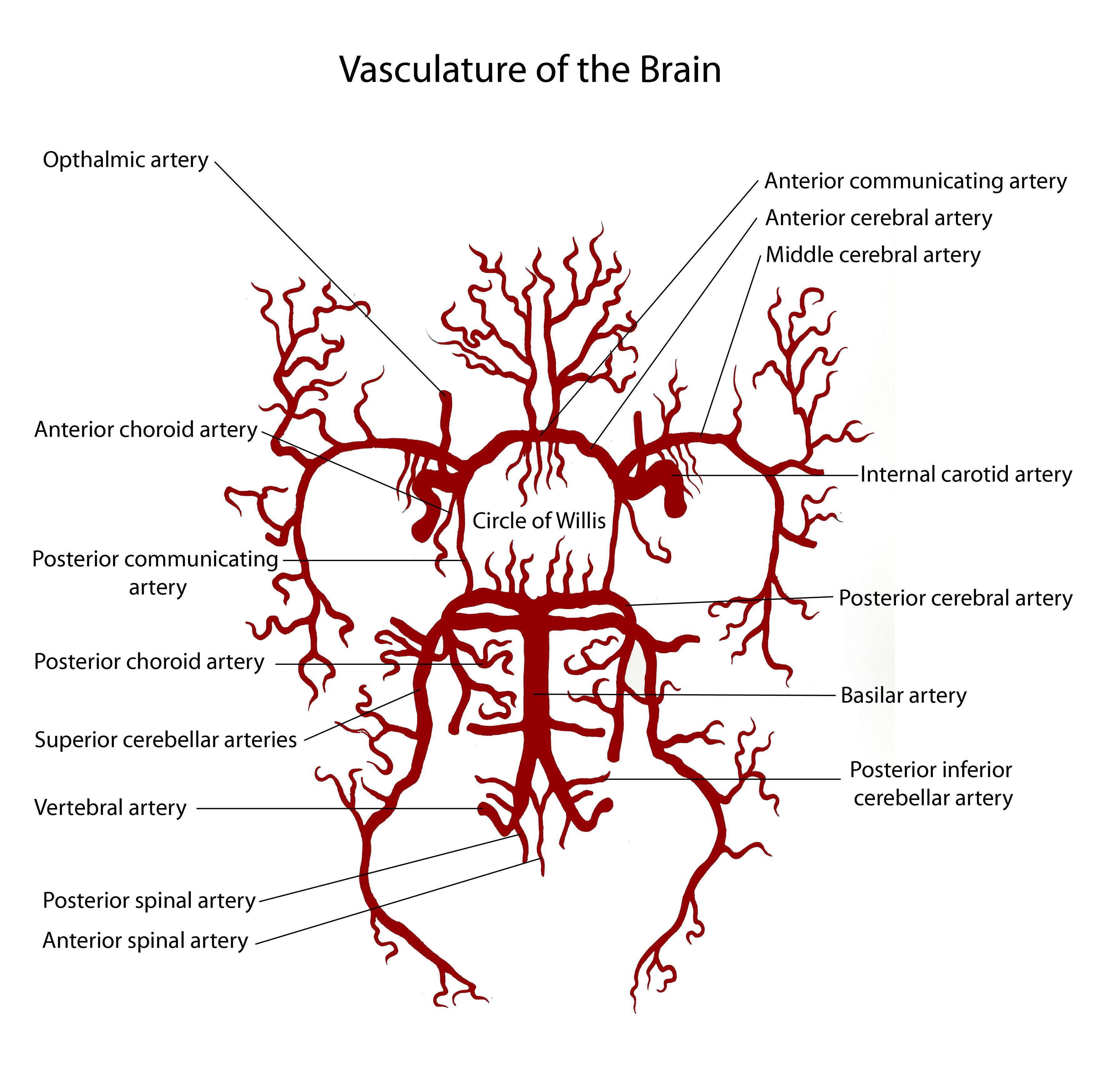 Vasculature of the Brain | ~ https://de.pinterest.com/Agneze/intro ...