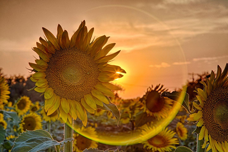 Kansas | Sunflower pictures, Sunflower wallpaper ...