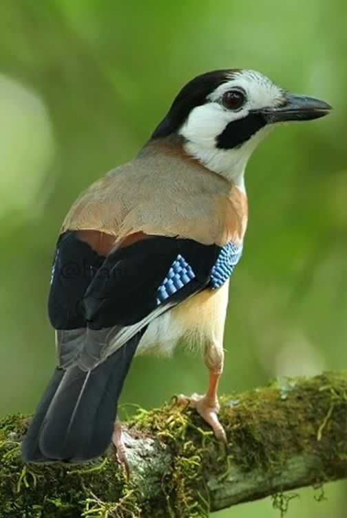 Eurasian Jay Or (bird turquoise) and in the family Corvidae birds resident status in Canada. Habitat: forest of pine forest spec...