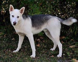 Young Male Dog Husky Milo Ottawa Ottawa Gatineau Area Image