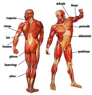 major muscles diagram with names | things to get me to a, Muscles