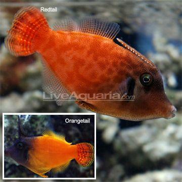 Liveaquaria Aquarium Fish Fish Marine Aquarium
