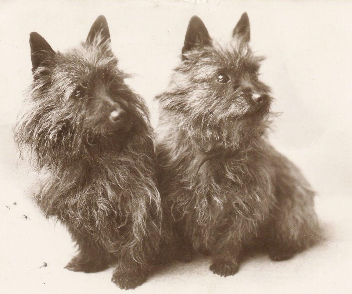 Cairn Terrier History Google Search Cairn Terrier Terrier