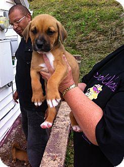 Pottstown Pa Boxer Labrador Retriever Mix Meet Boxer Lab Mix A Puppy For Adoption Boxer Labrador Mix Boxador Puppies Pets