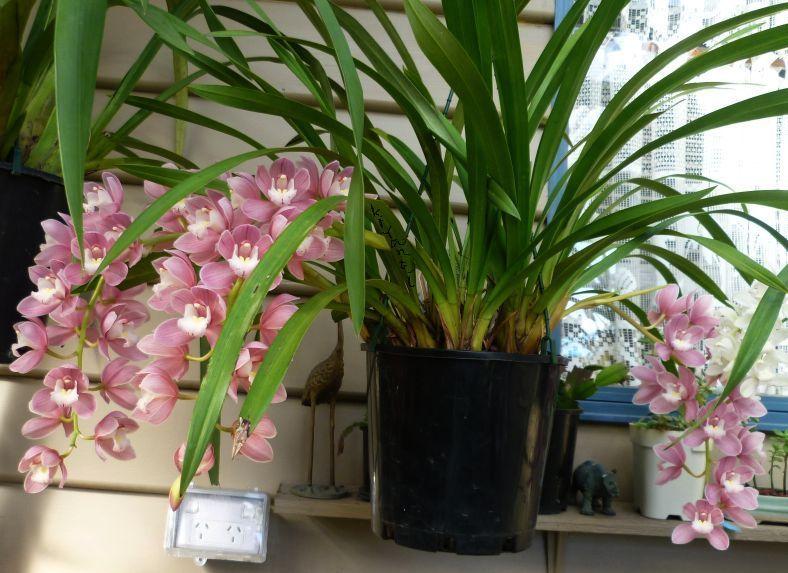 Cymbidium Orchids Prolific Bloomers Cymbidium Orchids Orchids Planting Flowers