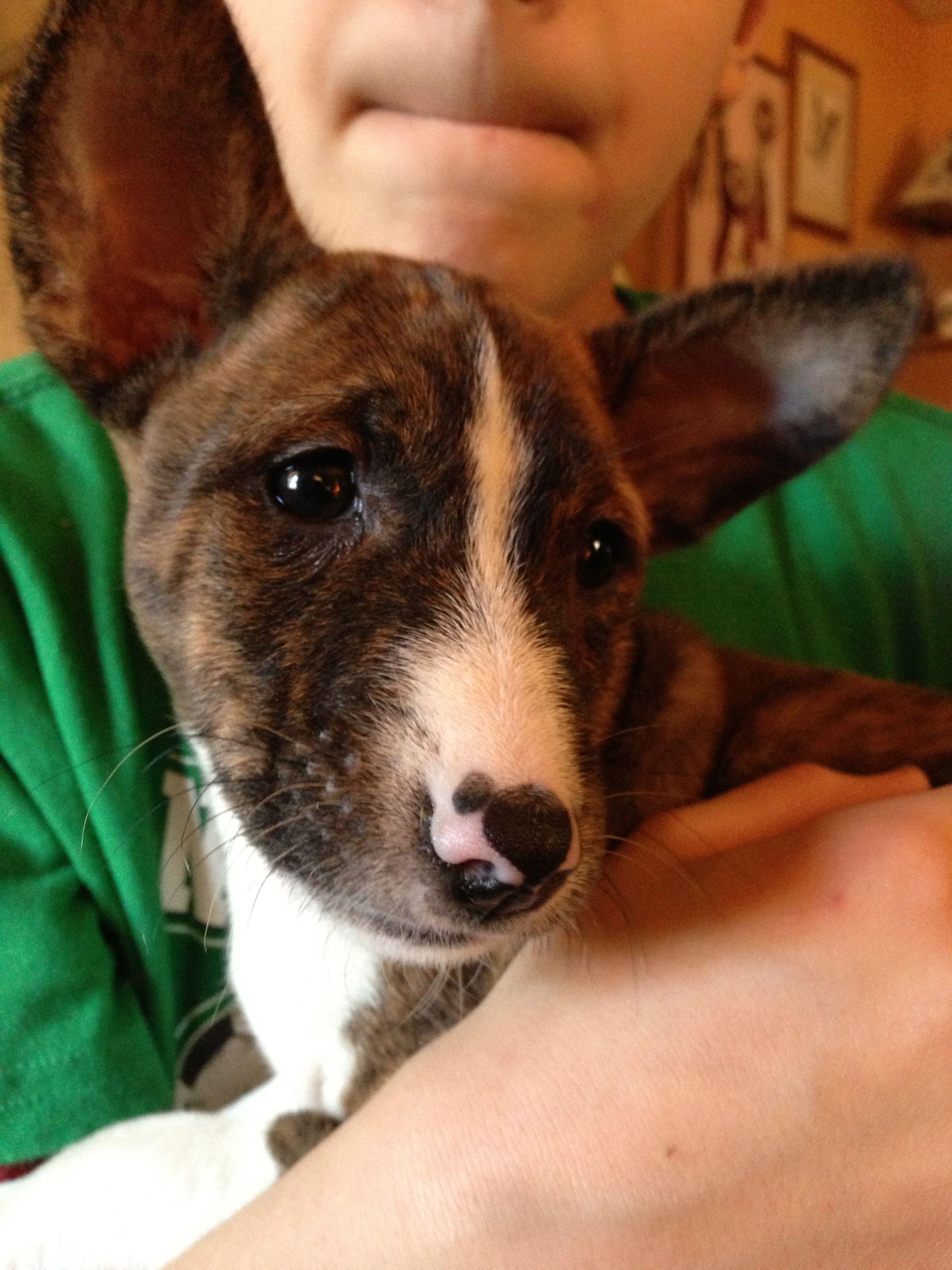 Our 8 Weeks Old Brindle Male Cardigan Welsh Corgi Puppies Welsh Corgi Funny Welsh Corgi Mix