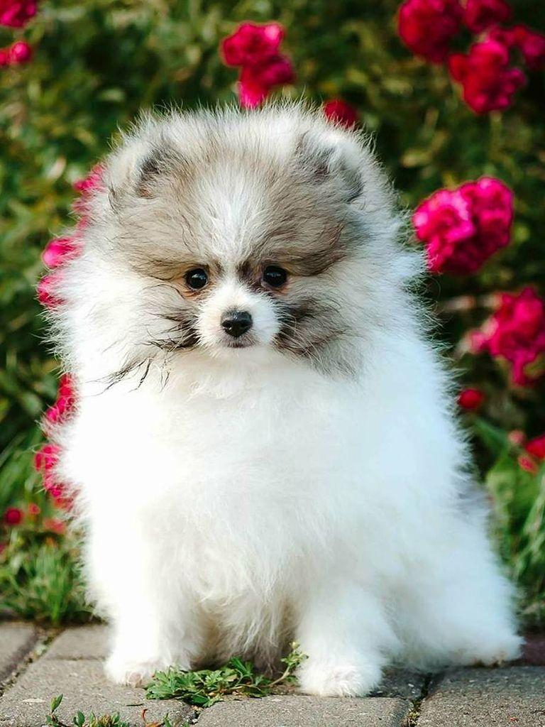 Pomeranian Pomeranian Puppy Puppies Dogs