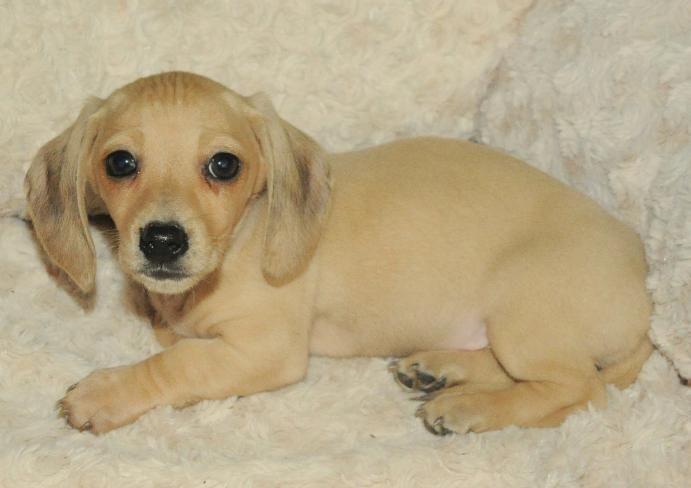 Smooth English Cream Female Mini Dachshund Puppy Pens Dachshund Puppies