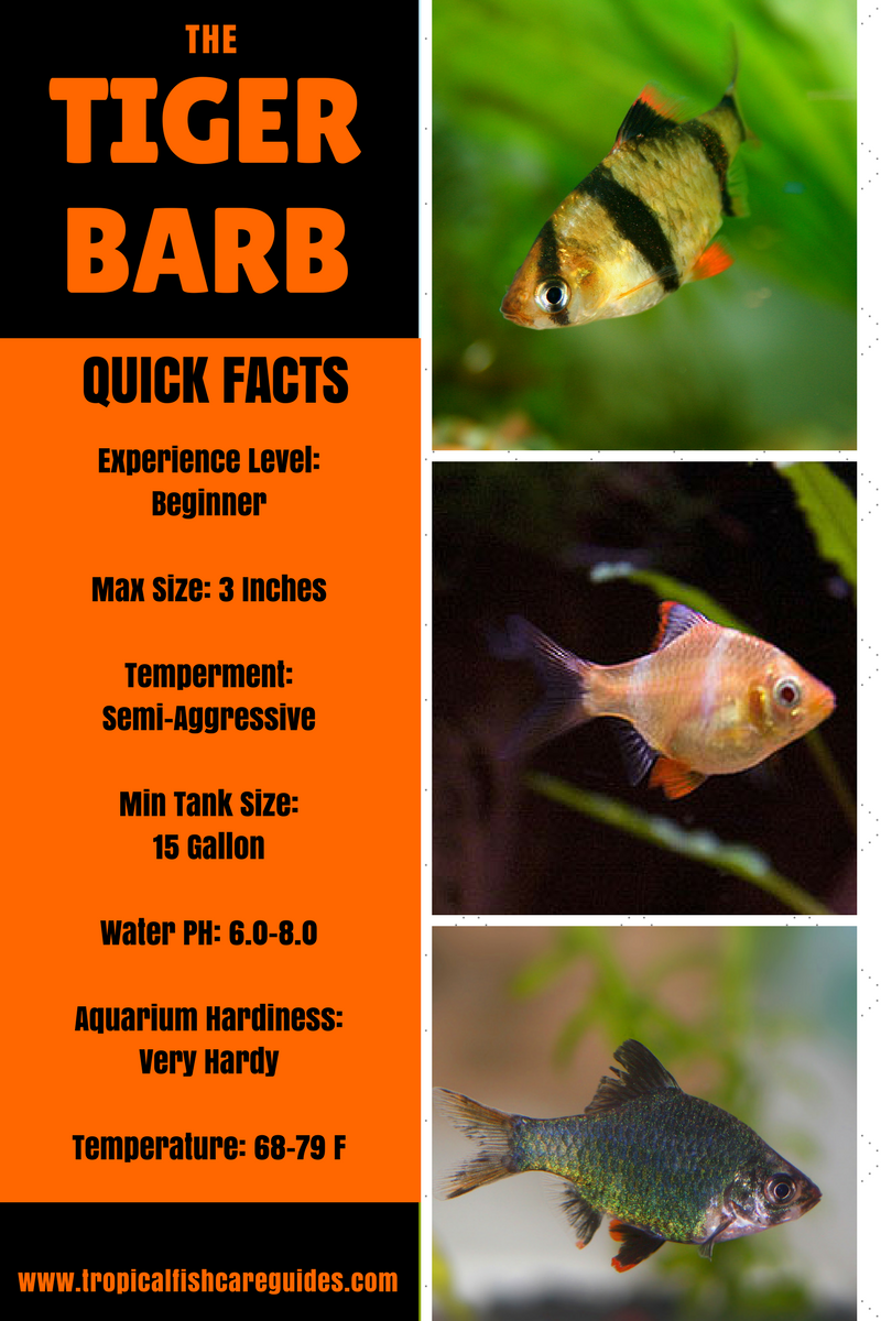 Ultimate Guide To Tiger Barb Fish Care Feeding Breeding Tankmates Fish Care Tiger Fish Tropical Fish Aquarium