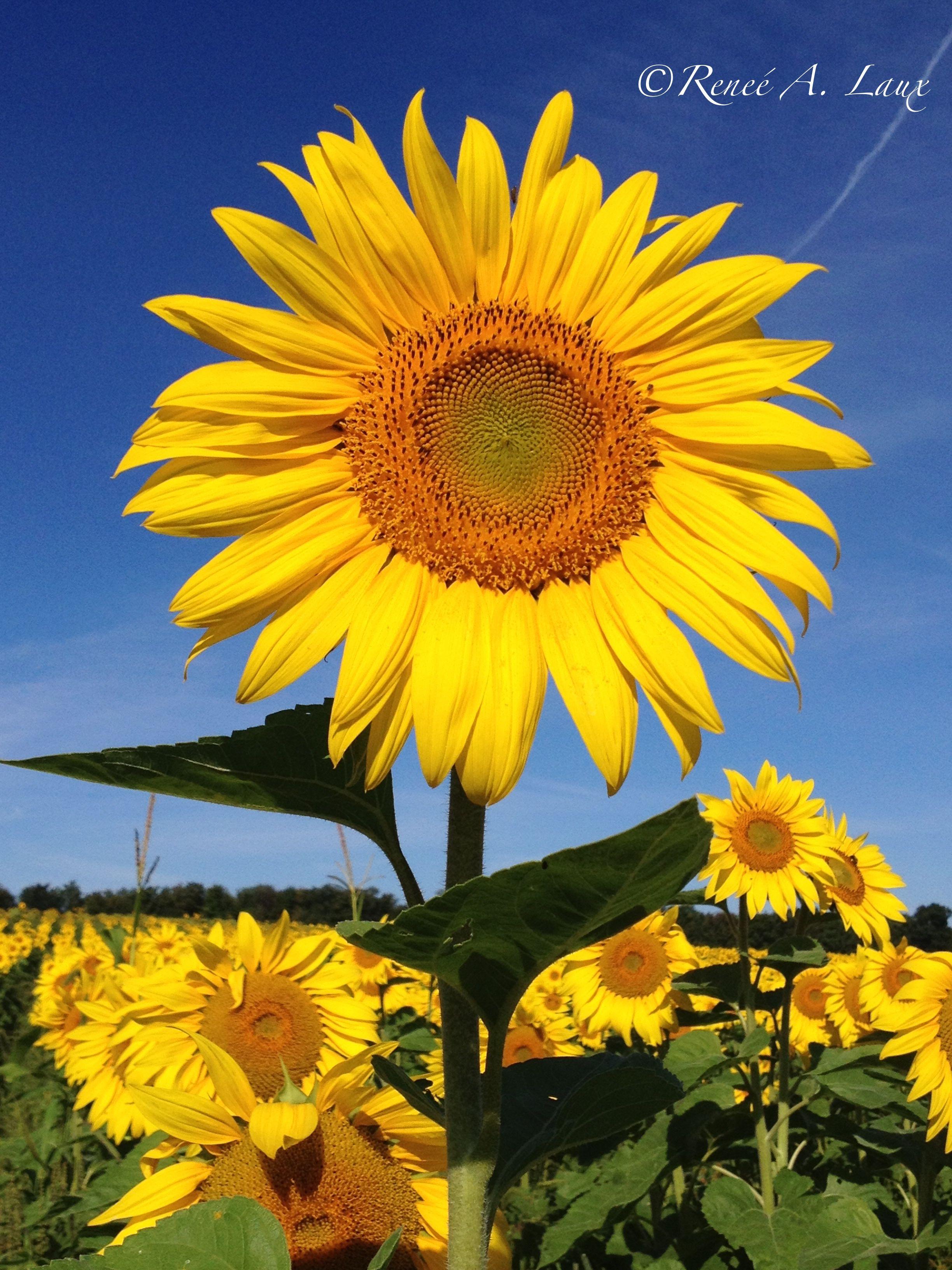 Sunflower Field Cazenovia NY