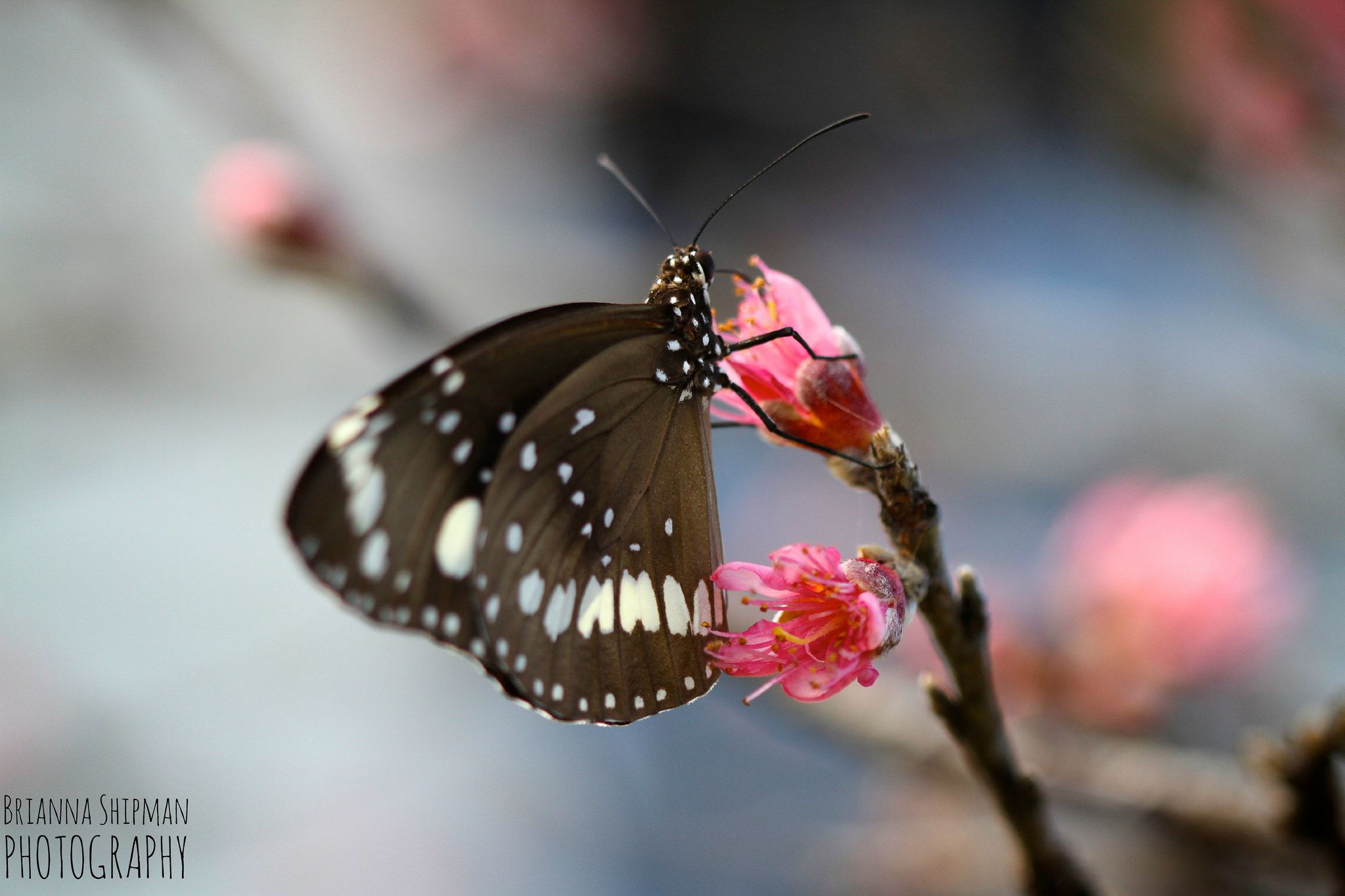 https://flic.kr/p/wDpcgz   Flutterby   The peach blossoms bring butterflies and bees, and they fly around busily in the sunshine.  When my grandma died, we released butterflies at her funeral. The next day, a big black and white butterfly fluttered by our house and sat in the tree out the front. My mum maintains that it's my grandmother who's come back as a butterfly.