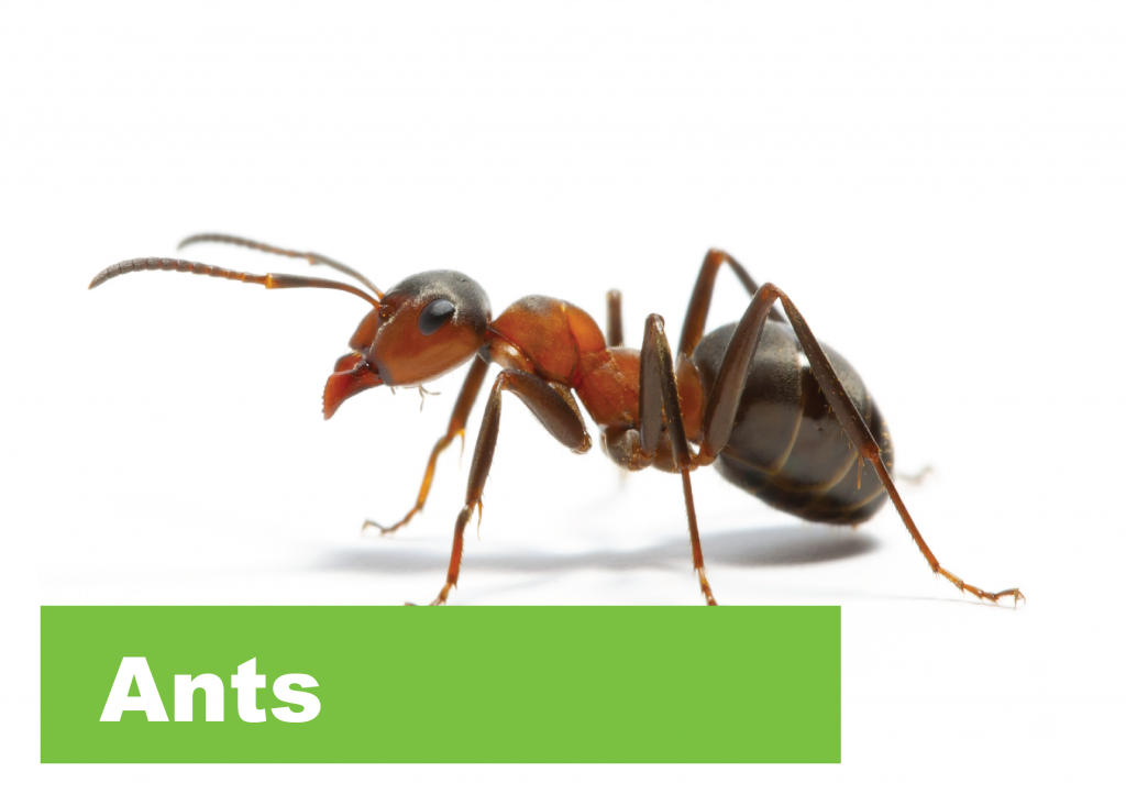 Offering Safe And Effective Pest Control From 99 Ants Termites
