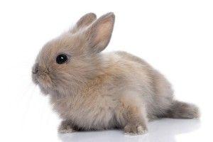 Het konijn is een zoogdier