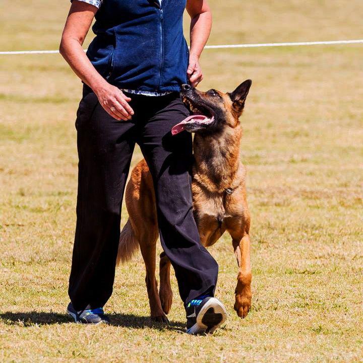 Nsw State Obedience Champion Australian Champion Nordenstamm Prix A I Kasper Airport Hannover X Nordenstamm Kas Malinois Malinois Dog Belgian Malinois Dog