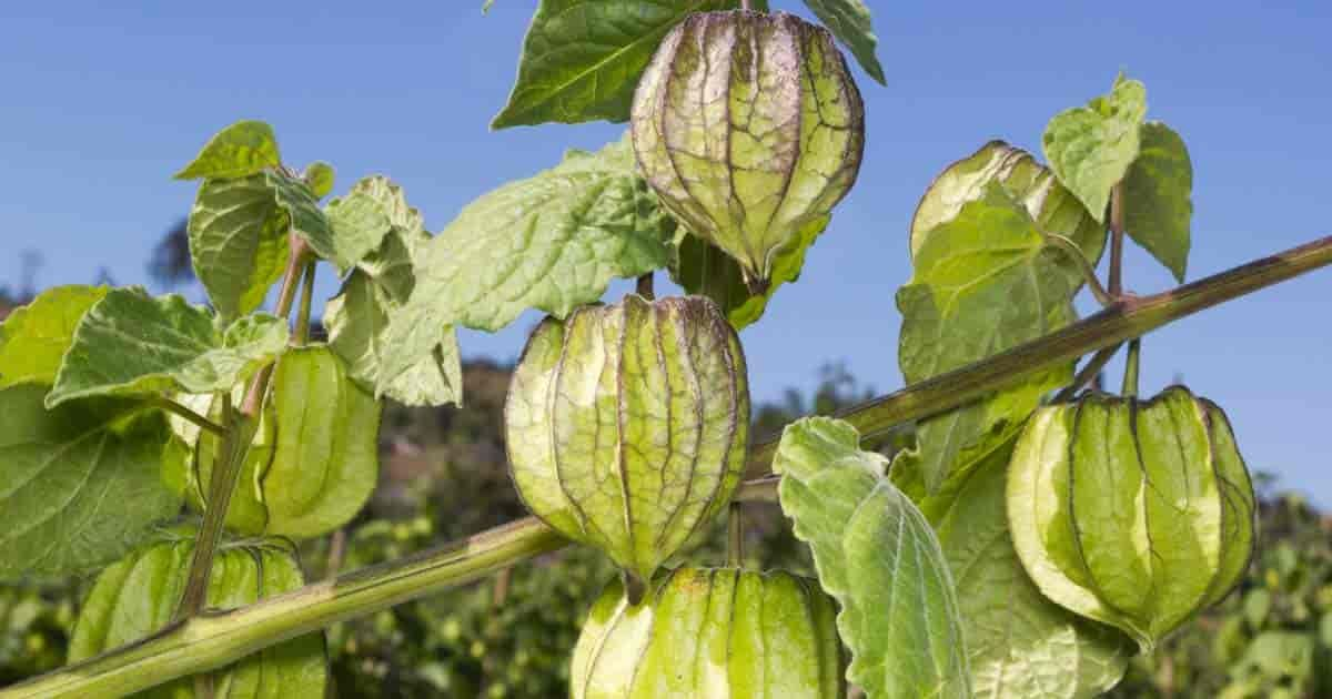Growing tomatillos how to care grow and use tomatillos