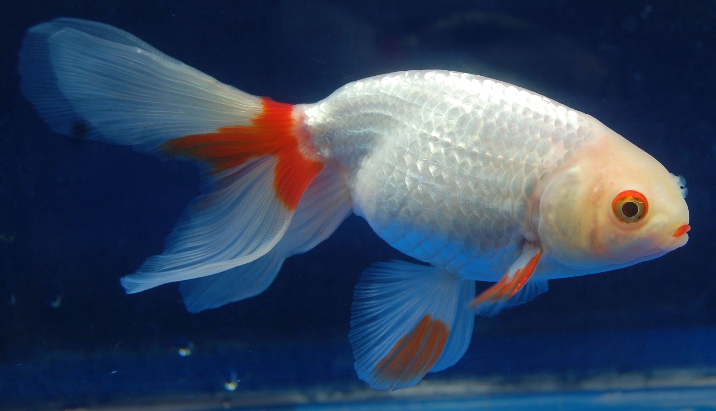 Goldfish Red And White Shukin Goldfish Watercolor Fish Beautiful Fish