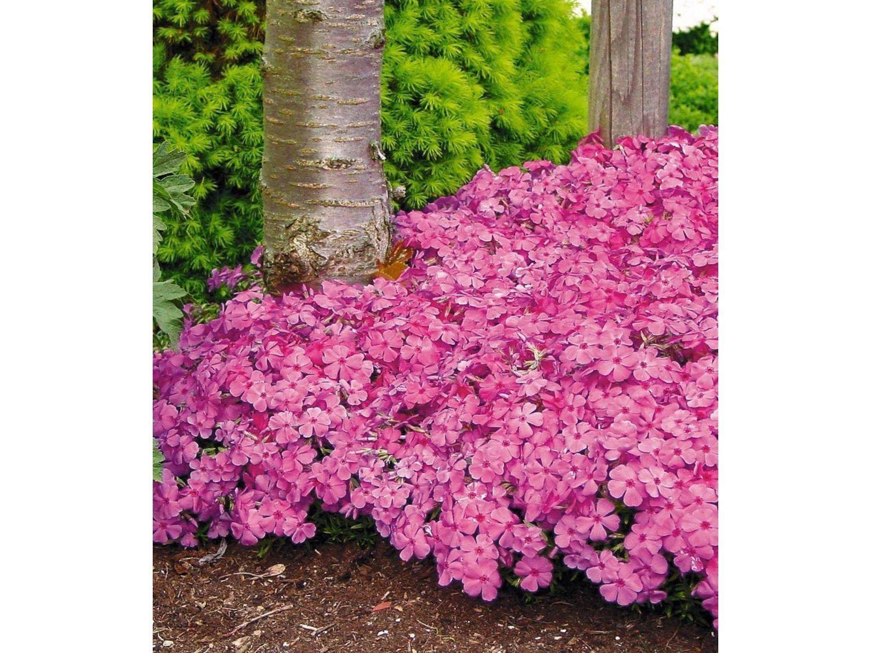Polster Phlox Mcdaniels Cushion 3 Pflanzen Lidl Deutschland Plants Garden Cushions