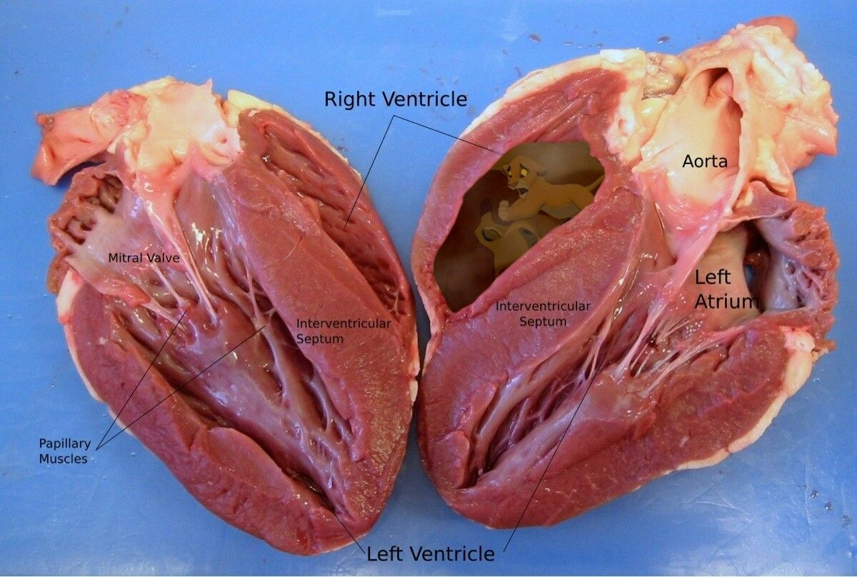 Real Human Heart Cut In Half Happy Birthday To Me Pinterest