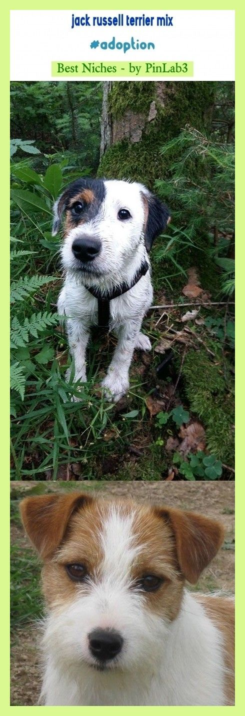 Jack russell terrier mix adoption kids. terrier mix wire