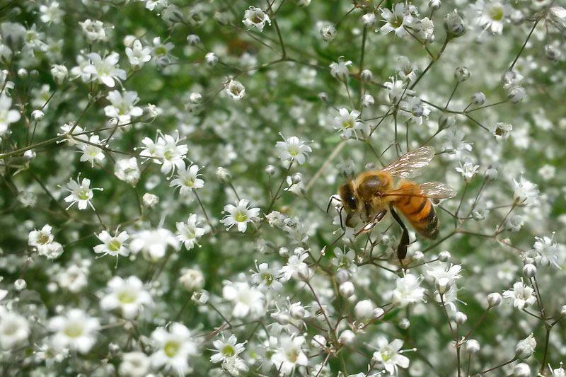 Pszczoła Na Gipsówce Pszczoły I Rośliny Pożytkowe Rośliny