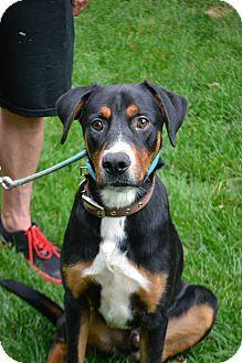 Lake Orion Mi Bernese Mountain Dog Rottweiler Mix Meet Remie