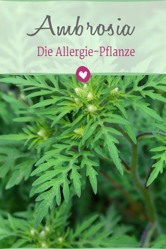 ambrosia die allergie pflanze garten pinterest pflanzen kr uter und kraut. Black Bedroom Furniture Sets. Home Design Ideas